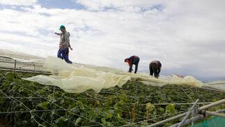 Los daños materiales han sido cuantiosos para los agricultores.  Foto: Salvador Rodr?ez
