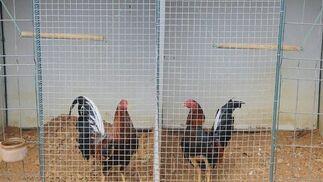 'Caimán' (a la izquierda) y 'Juanillo' (derecha), dos gallos de la raza Combatiente Jerezano Español, en sus jaulas, en una granja de Puerto Real  Foto: Borja Benjumeda