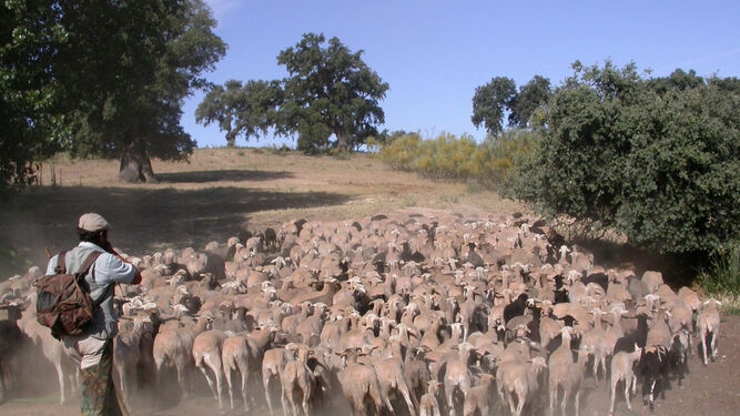 Rebaño de cabras en una explotación de la Serranía de Ronda.