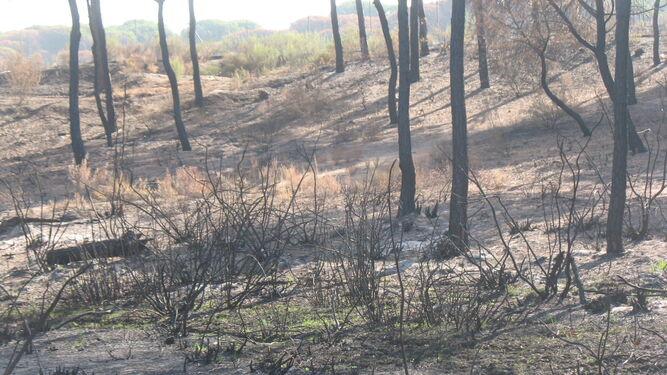 Zona de los pinos centenarios de Galé, donde el incendio afectó a algunos pastos.