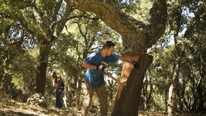 Descorche en el bosque de alcornoques sobre árboles a los que se les retiró la corcha en otras ediciones.