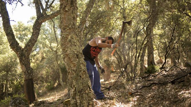 Trabajo de saca sobre un árbol que es la primera vez que se descorcha.