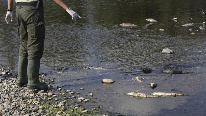 Los cadáveres de los peces se acumulan en la orilla del río.