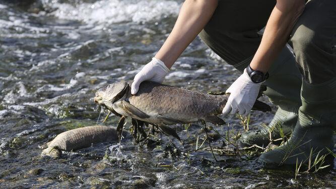 Un hombre retira un pez muerto.