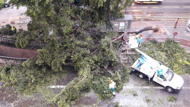 El temporal ha derribado un ficus en la Alameda.