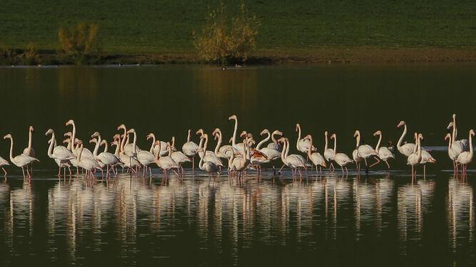 Un grupo de flamencos pasea tranquilamente en la laguna de Capacete.