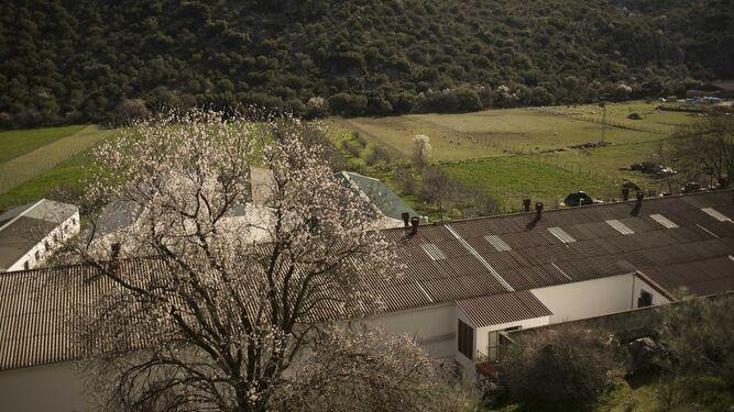 Almendro en flor junto a la carretera entre Benaoján y Montejaque.