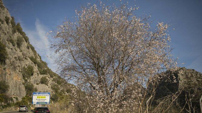 Benaoján y sus alrededores cuentan con bastantes almendros en flor.