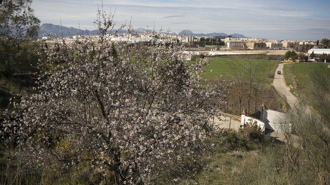 En los alrededores de Ronda también comienza la floración.