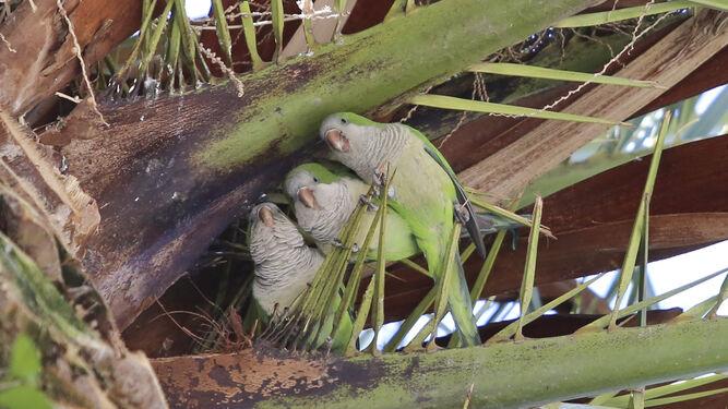 Cotorras en una palmera
