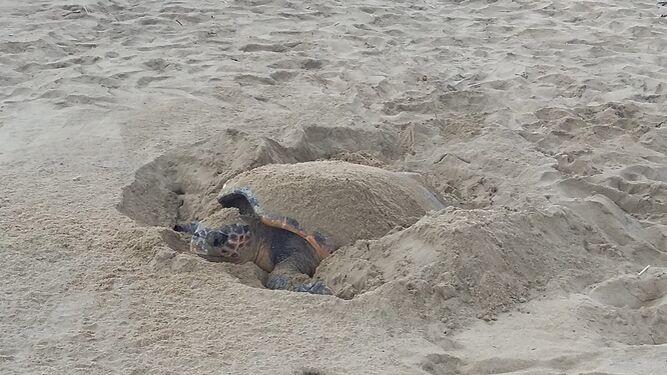https://www.malagahoy.es/2020/08/16/malaga/tortuga-boba-semienterrada-playa_1492660720_124758320_667x375.jpg