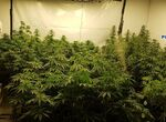 Arrestan a una mujer y su hijo por cultivar marihuana en el sótano de su casa en Mijas